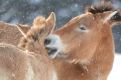 20170106-wildpferd-przewalski-winter-tfg-II-thies_hinrichsen.jpg